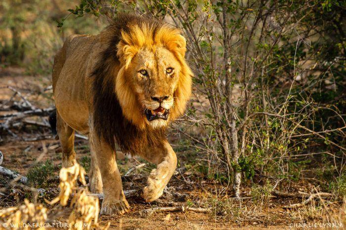 Лев в пустыне