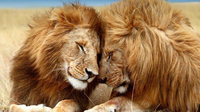 Два дружелюбных льва