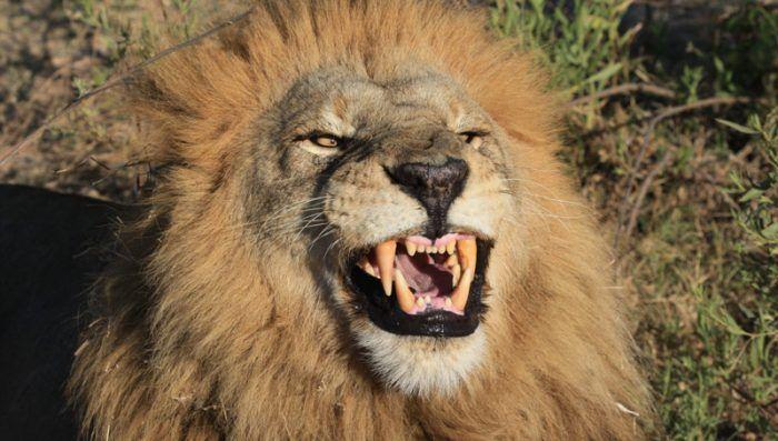 Лев оскалил зубки