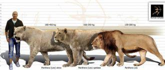 Большие львы