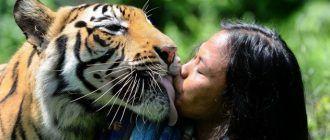 Тигр лижет человека