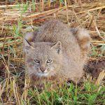 Кошка в природных условиях