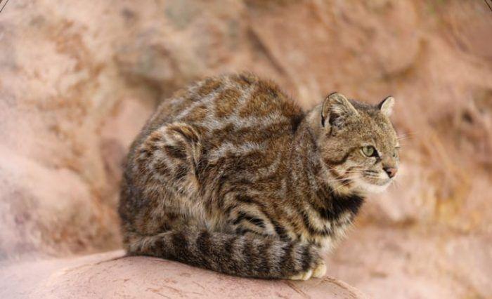 Пятнышки у Пампасской кошки
