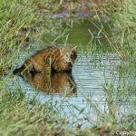 Травяная кошка плавает