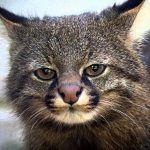 Мордочка травяного кота