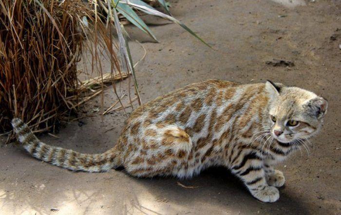 Пампасская кошка на песке