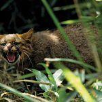 Кошка рычит в траве
