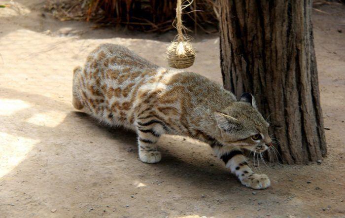 Пампасская кошка хочет поохотиться