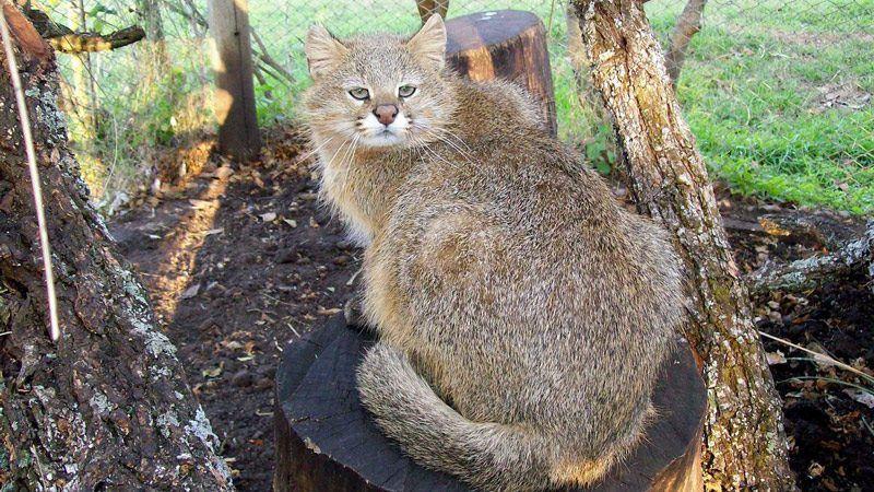 Пампасская кошка возле дерева