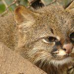 Пампасская кошка в клетке
