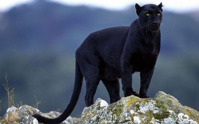 Пантера на скале