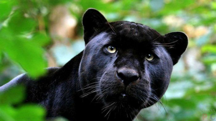 Пантера смотрит в камеру