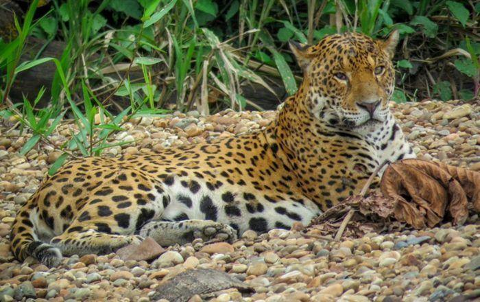 Panthera onca peruvianus