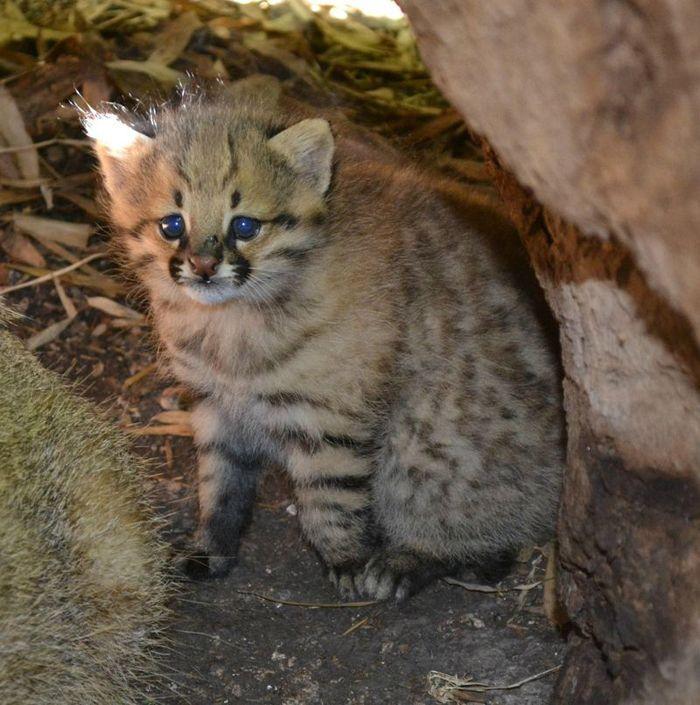 Котенок Пампасской кошки