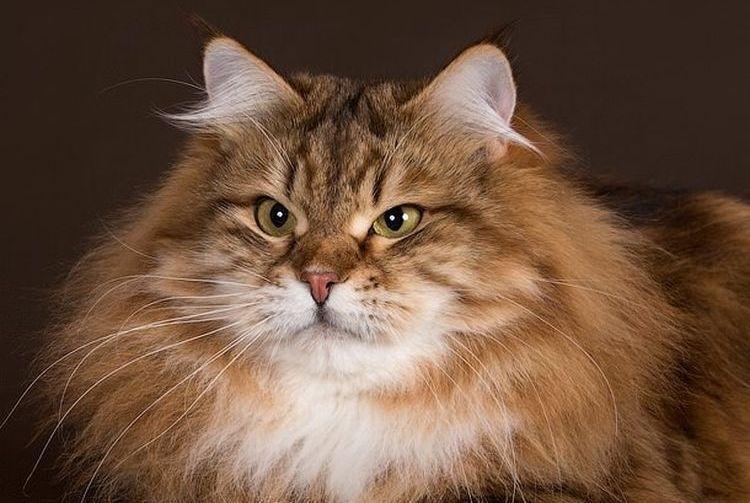Сибирские кот фото