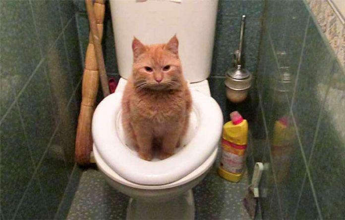 Кот приучен к туалету