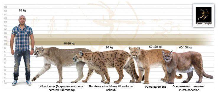 Предки пумы