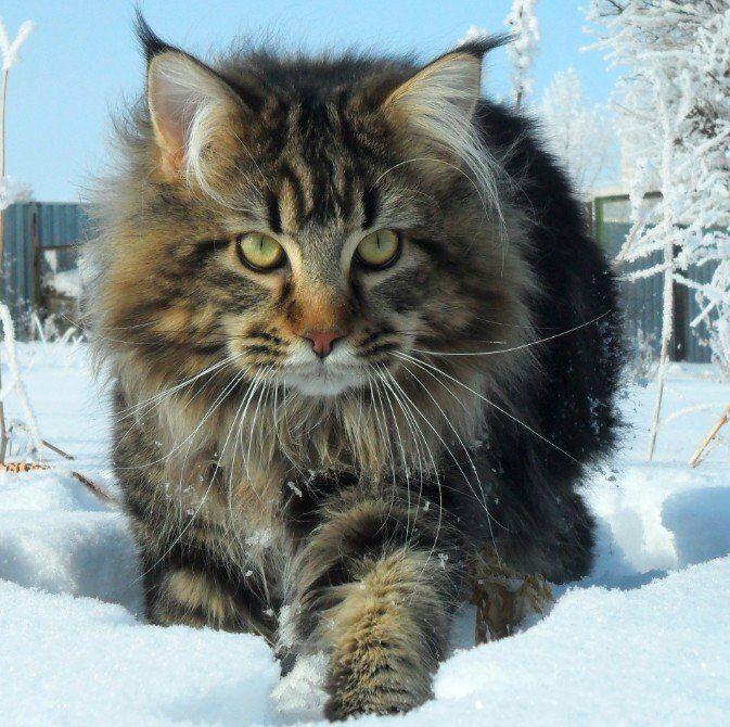 Мейн-кун на снегу
