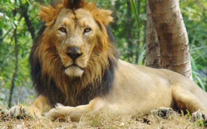 Лев с черной гривой