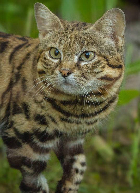 Пухлая мордочка у Черноногой кошки