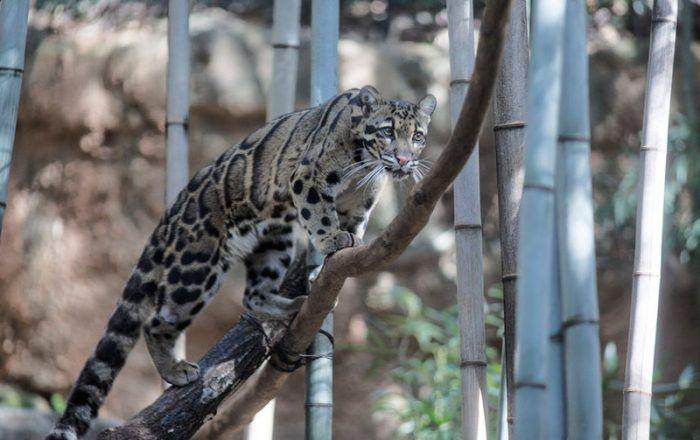Тайваньский дымчатый леопард