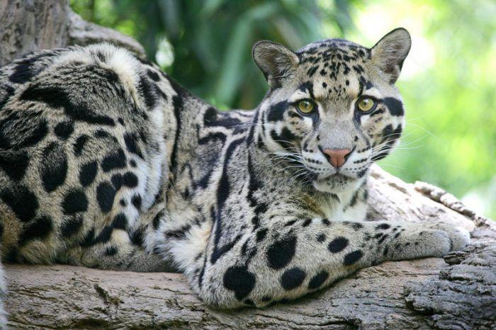 Леопард из Тайваня