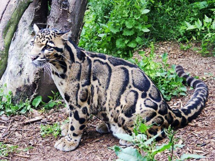 Леопард средних размеров