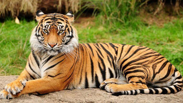 Тигр на песочке