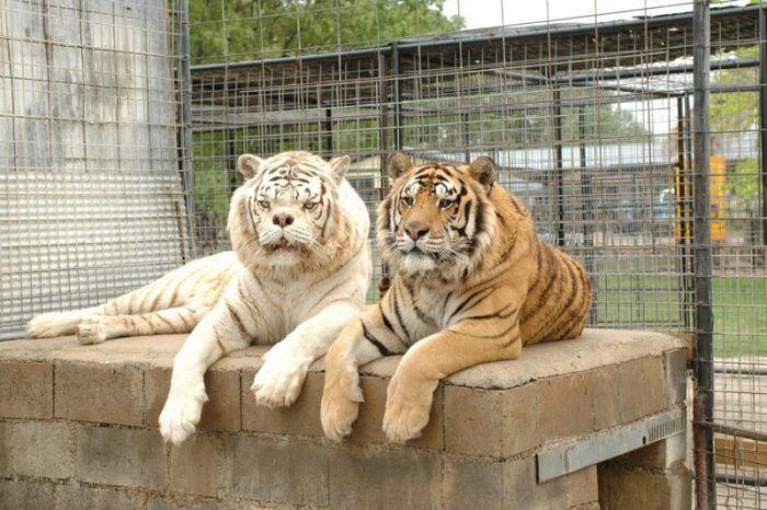 Два разных Тигра