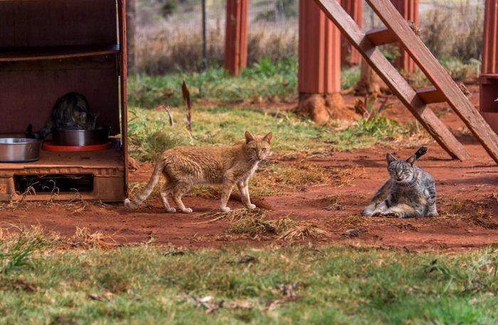 Гавайские котики львы