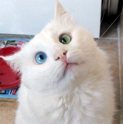 Гетерохромия у котика