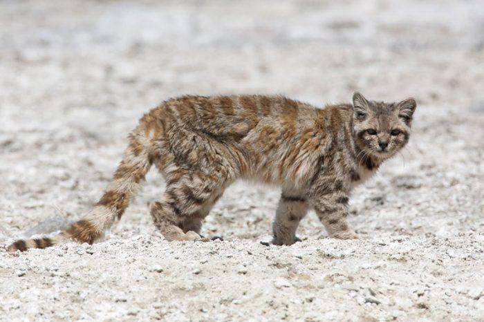 Андская кошка собирается на охоту