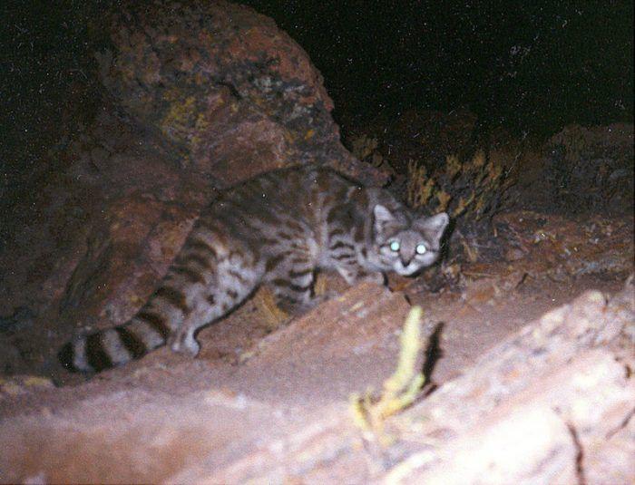 Ночной образ жизни у Андской кошки
