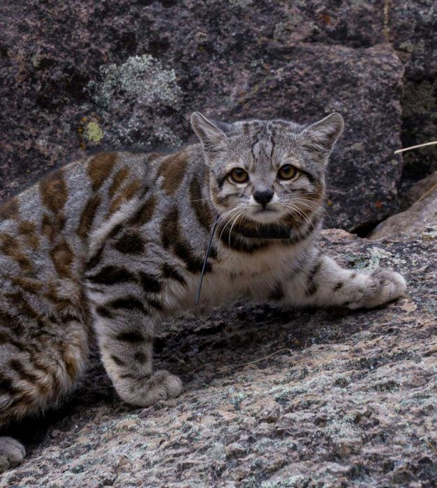 Андский кот на камнях