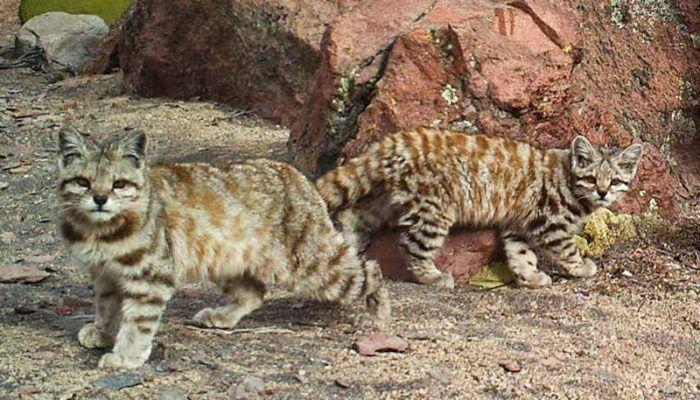 Два Андских кота