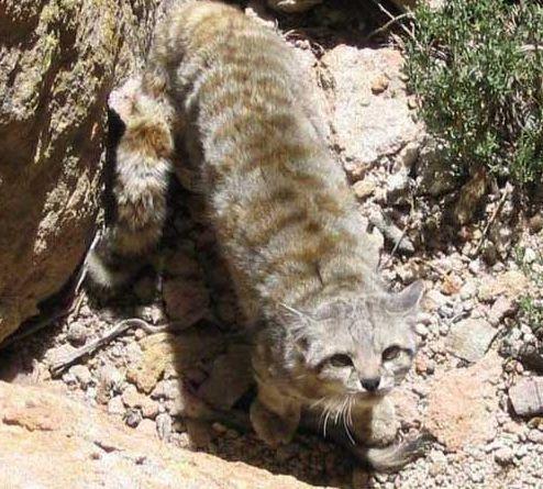 Андский кот