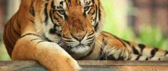 Тигр с острова Бали