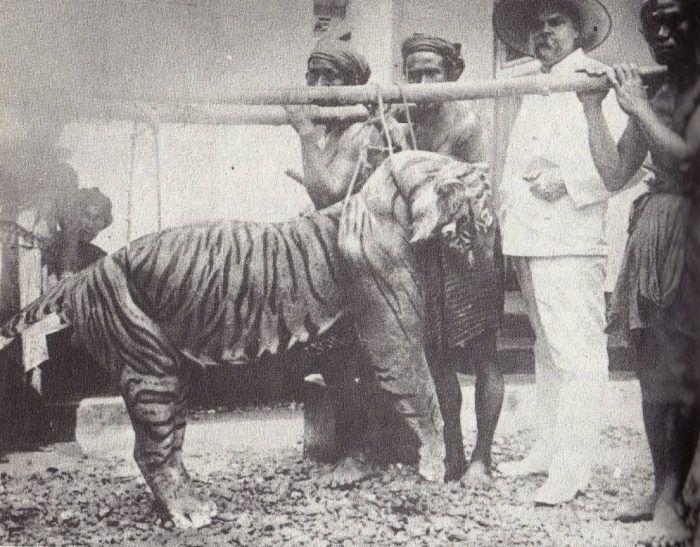 Первый убитый тигр