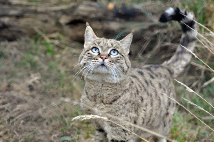 Китайская пустынная кошка
