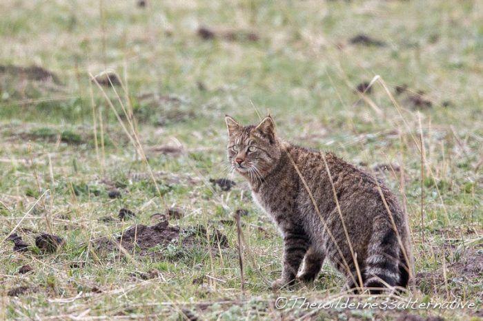 Кошка гуляет в полях