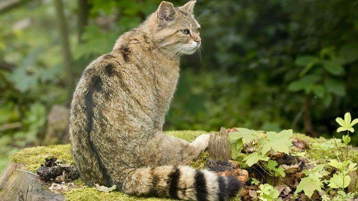 Дикий кот Felis bieti