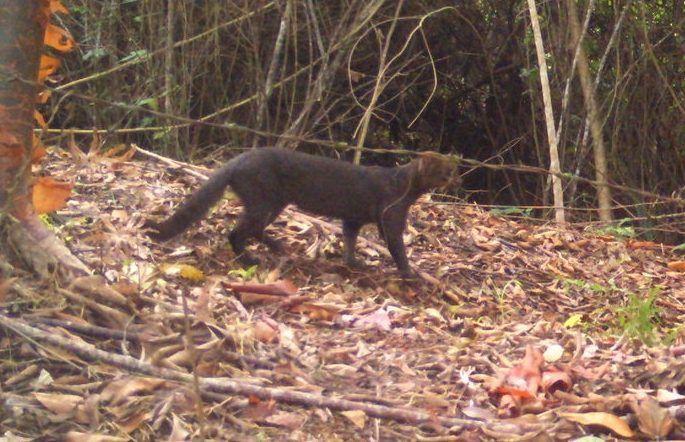 P. y. fossata в лесу