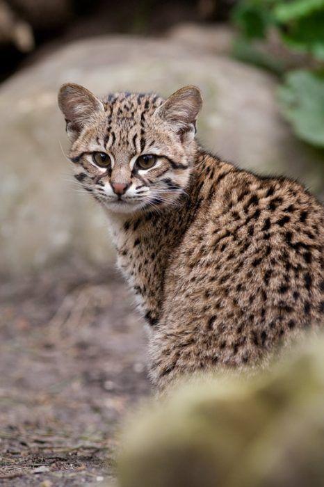 Кошка в естественной среде