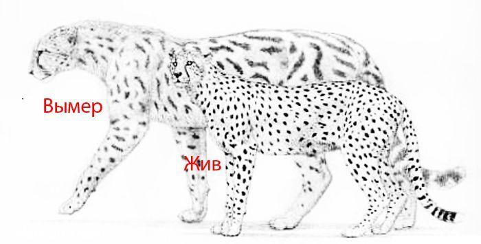 Сравнение двух гепардов