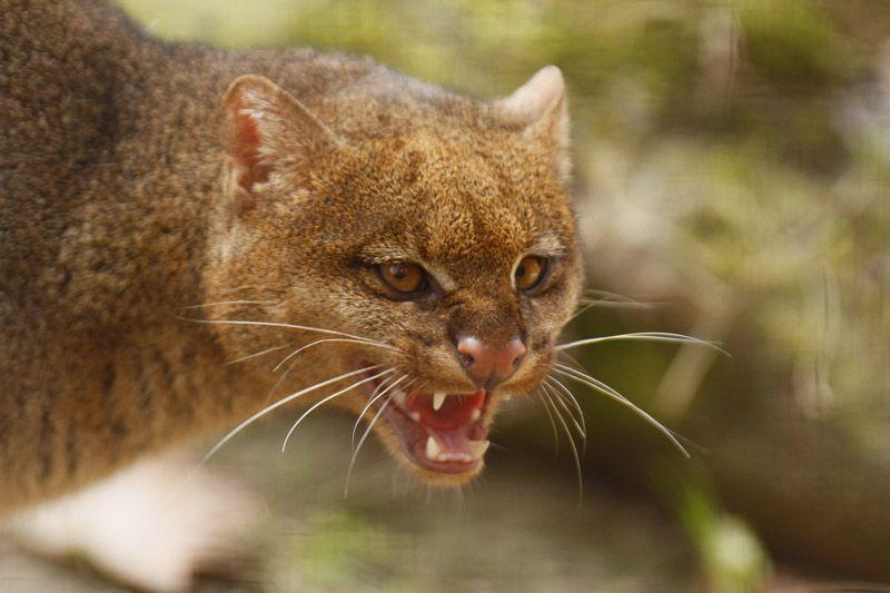 Дикий кот злится