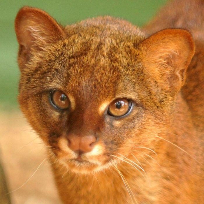 Ярко-рыжий кот