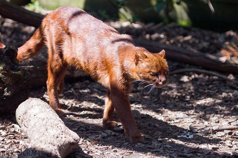 Кот рыжего окраса