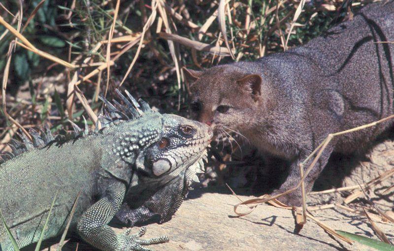 Ягуарунди и игуана