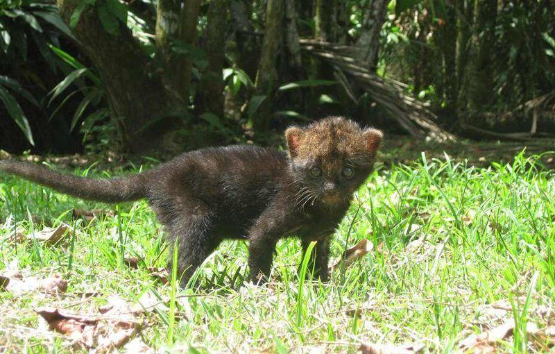 Котенок от самки Ягуарунди