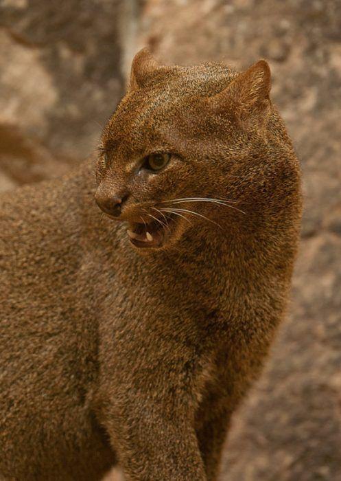 Злой кот Ягуарунди